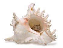 Pequeño ratón en shell grande Fotos de archivo