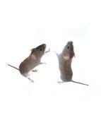 Pequeño ratón gris dos que se coloca en sus patas traseras y que mira para arriba Fotos de archivo