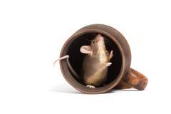 Pequeño ratón hambriento en una taza vacía Fotografía de archivo libre de regalías