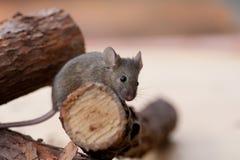 Pequeño ratón marrón en registro fotografía de archivo