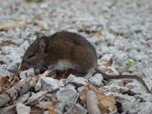 Pequeño ratón soñoliento fotos de archivo libres de regalías