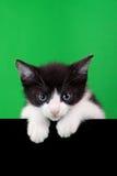 Pequeño recorte del gato doméstico Fotos de archivo