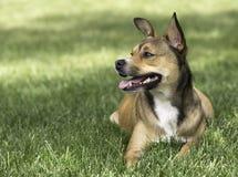 Pequeño resto lindo del perro en la hierba verde en parque Cierre para arriba Imagen de archivo