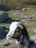 Pequeño retrato de la cabra Foto de archivo libre de regalías