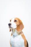 Pequeño retrato lindo del estudio del perro del beagle - fondo blanco Foto de archivo libre de regalías