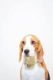 Pequeño retrato lindo del estudio del perro del beagle - fondo blanco Fotos de archivo libres de regalías