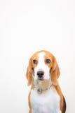 Pequeño retrato lindo del estudio del perro del beagle - fondo blanco Fotografía de archivo libre de regalías