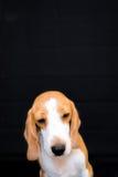 Pequeño retrato lindo del estudio del perro del beagle - fondo negro Foto de archivo libre de regalías