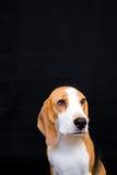 Pequeño retrato lindo del estudio del perro del beagle - fondo negro Fotos de archivo