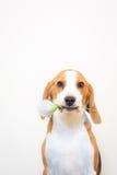 Pequeño retrato lindo del estudio del perro del beagle - sostenga la flor en la boca Fotografía de archivo