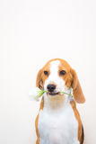 Pequeño retrato lindo del estudio del perro del beagle - sostenga la flor en la boca Foto de archivo libre de regalías
