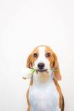 Pequeño retrato lindo del estudio del perro del beagle - sostenga la flor en la boca Imagen de archivo