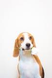 Pequeño retrato lindo del estudio del perro del beagle - sostenga la flor en la boca Imágenes de archivo libres de regalías