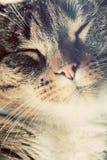 Pequeño retrato lindo del gato Ojos cerrados en tiempo soñoliento, feliz foto de archivo libre de regalías