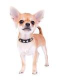 Pequeño retrato seguro de sí mismo del perrito de la chihuahua Foto de archivo