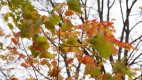 pequeño roble rojo con las hojas brillantes almacen de video