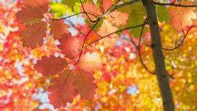 Pequeño roble rojo con las hojas brillantes, cacerola del tiempo del otoño metrajes
