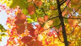 Pequeño roble rojo con las hojas brillantes, cacerola del tiempo del otoño almacen de metraje de vídeo