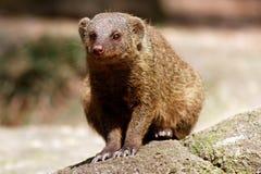 Pequeño roedor Foto de archivo