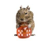 Pequeño roedor con el cubo grande de los dados Foto de archivo libre de regalías