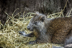 Pequeño roedor que se relaja Foto de archivo
