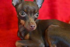 Pequeño ruso toi-Terrier del perro Imagen de archivo libre de regalías