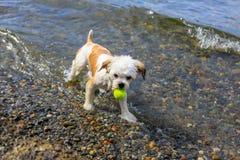 Pequeño Shih Tzu Dog lindo con una bola en la playa Foto de archivo