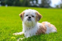 Pequeño Shih Tzu Dog lindo que miente en la hierba foto de archivo libre de regalías