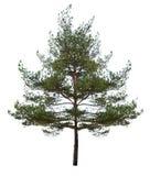 Pequeño solo pino aislado en blanco Fotografía de archivo
