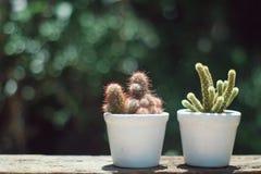 Pequeño suculento, cactus, plantas de tiesto decorativas en la tabla de madera vieja con la luz caliente de la mañana imagen de archivo libre de regalías