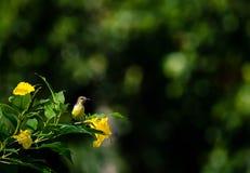 Pequeño sunbird amarillo Fotos de archivo