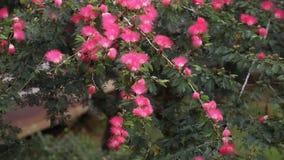 Pequeño sunbird amarillo que salta a partir de una rama a otra para el néctar de consumición de la flor rosada metrajes