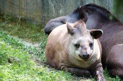 Pequeño tapir con su momia, mintiendo en la hierba, en el parque zoológico imágenes de archivo libres de regalías