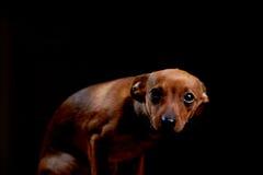 Pequeño terrier asustado en negro fotografía de archivo