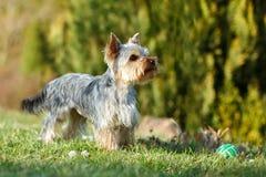 Pequeño terrier de Yorkshire lindo Fotografía de archivo