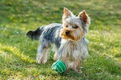 Pequeño terrier de Yorkshire lindo Imagen de archivo