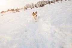 Pequeño terrier divertido corriente de Jack Russell del perro el competir con a través de la nieve Imagenes de archivo