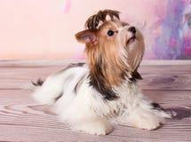 Pequeño terrier lindo Fotos de archivo