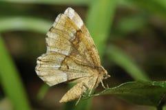 Pequeño Thorn Moth Fotos de archivo