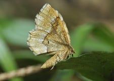 Pequeño Thorn Moth Foto de archivo libre de regalías