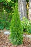 Pequeño thuja plantado en jardín imágenes de archivo libres de regalías