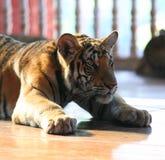 Pequeño tigre, Tailandia Imágenes de archivo libres de regalías