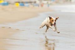 Pequeño tiro de la acción del perro Fotografía de archivo libre de regalías