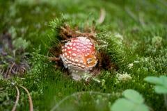 Pequeño toadstool en el bosque imagen de archivo libre de regalías