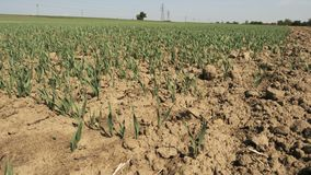 Pequeño trigo verde al lado del suelo arado metrajes