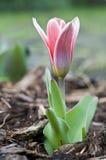 Pequeño tulipán Fotos de archivo