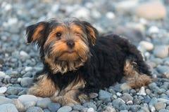 Pequeño Yorkshire Terrier negro y marrón en los guijarros de un mar del fondo en la playa Imágenes de archivo libres de regalías