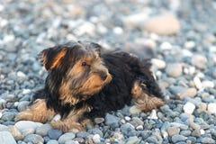 Pequeño Yorkshire Terrier negro y marrón en los guijarros de un mar del fondo en la playa Foto de archivo
