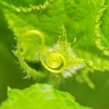 Pequeño zarcillo espiral joven del pepino Imagen de archivo libre de regalías