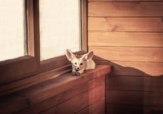 Pequeño zorro del animal doméstico casero que toma el sol y que se relaja en travesaño de la ventana en cabina rústica Foto de archivo libre de regalías